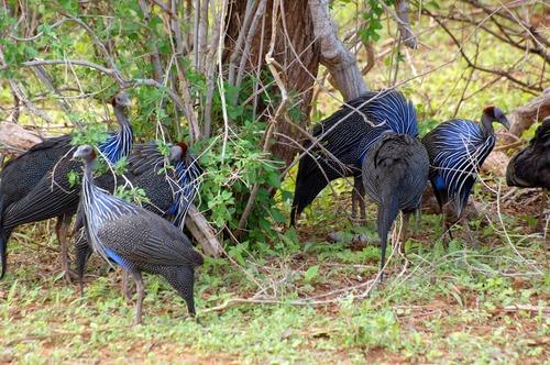 Vulturine Guineafowl - Acryllium vulturinum - Samburu NP Kenya - D2X 2017-10-25-178CE.jpg