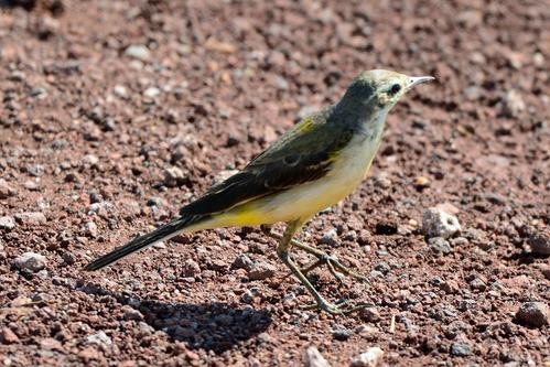 Western Yellow Wagtail - Motacilla flava - Lake Manyara NP Tanzania - D800 2017-11-12-108CE.jpg