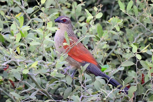 White Browed Coucal - Centropus superciliosus - Lake Manyara NP - D800 2017-11-13-006CE.jpg