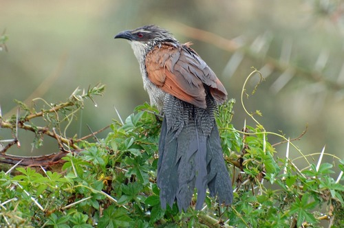 White Browed Coucal - Centropus superciliosus - Ngorongoro NP Tanzania - D2X 2017-11-10-168CE.jpg