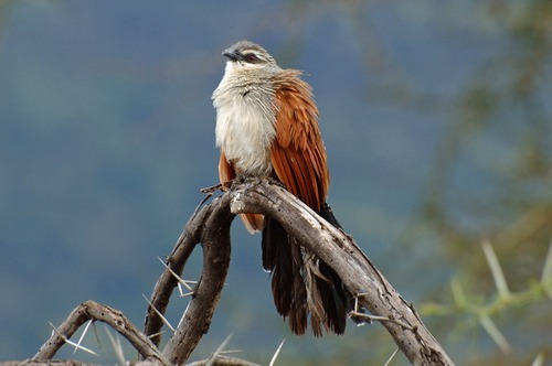 White Browed Coucal - Centropus superciliosus - Ngorongoro NP Tanzania - D2X 2017-11-10-182CE.jpg