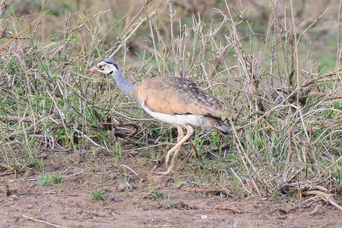 White-bellied Bustard - Eupodotis senegalensis - Amboseli NP Kenya D800 2017-11-17-887CE.jpg