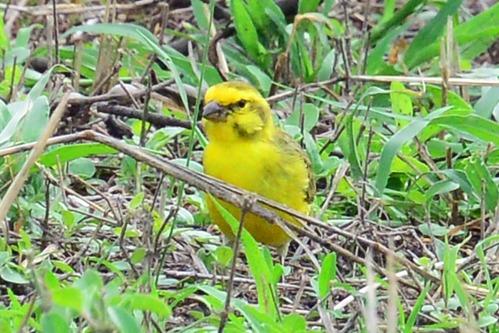 White-bellied Canary - Crithagra dorsostriata - Spekes Bay Kenya - D800 2017-11-05-298CE.jpg