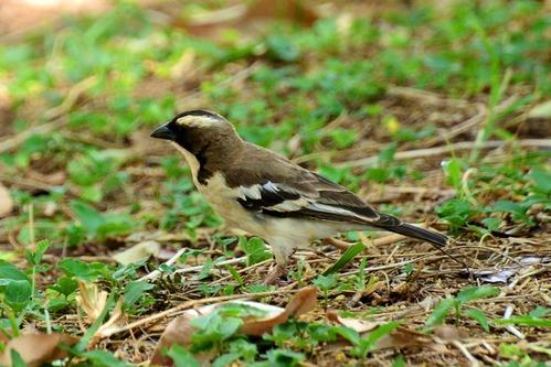 White-bowed Sparrow Weaver - Plocepasser mahali - Samburu NP - D800 2017-10-24-126CE.jpg