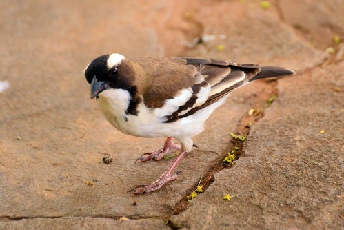 White-bowed Sparrow Weaver - Plocepasser mahali - Samburu NP - D800 2017-10-24-167CE.jpg
