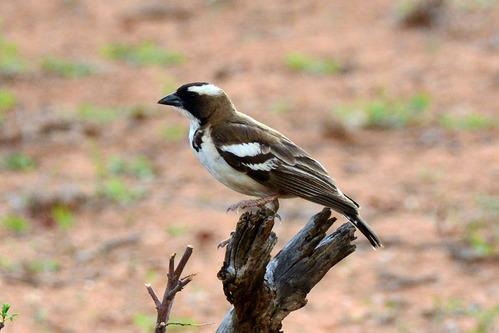 White-bowed Sparrow Weaver - Plocepasser mahali - Samburu NP - D800 2017-10-24-269CE.jpg