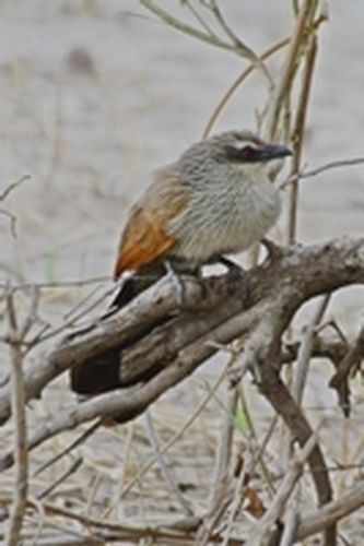 White-browed Coucal - Centropus superciliosus - Tarengire NP Tanzania D800 119 11-20-14CE.jpg