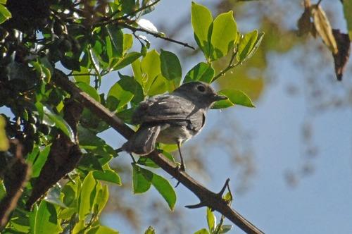 White-eyed Slaty Flycatcher - Melaenornis fischeri - Aberdares NP - D2X 2017-10-22-019CE.jpg