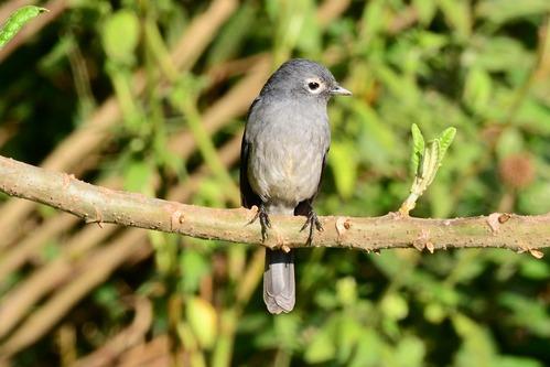 White-eyed Slaty Flycatcher - Melaenornis fischeri - Aberdares NP - D800 2017-10-22-383CE.jpg