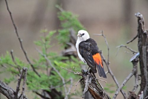 White-headed Buffalo Weaver - Dinemellia dinemelli - Serengeti NP D800 134 11-16-14E.jpg