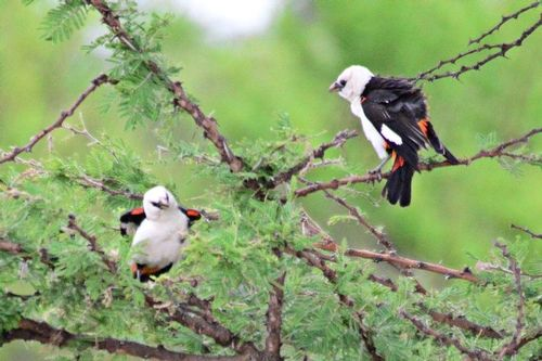 White-headed Buffalo Weaver - Dinemellia dinemelli - Serengeti NP D800 165 11-15-14CE.jpg