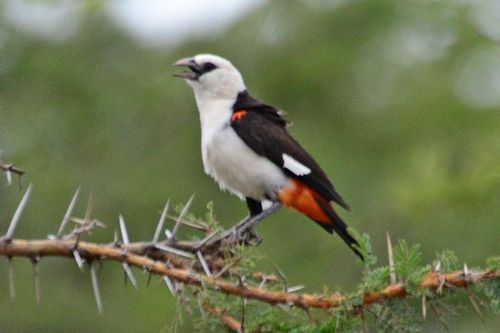 White-headed Buffalo Weaver - Dinemellia dinemelli - Serengeti NP D800 178 11-15-14CE.jpg