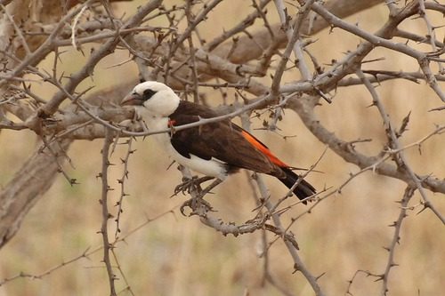 White-headed Buffalo Weaver - Dinemellia dinemelli - Tarengire NP D2X 092 11-20-14CE.jpg
