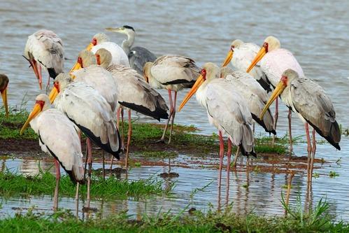 Yellow-billed Stork - Mycteria ibis - Lake Manyara NP Tanzania - D800 2017-11-13-059CE.jpg