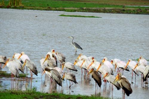 Yellow-billed Stork - Mycteria ibis - Lake Manyara NP Tanzania - D800 2017-11-13-060CE.jpg