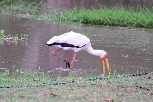 Yellow-billed Stork - Mycteria ibis - Tsavo NP Kenya D800 002 11-13-14CE.jpg