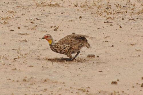 Yellow-necked Francolin - Francolinus leucoscepus - Tarengire NP D2X 022 11-20-14CE.jpg