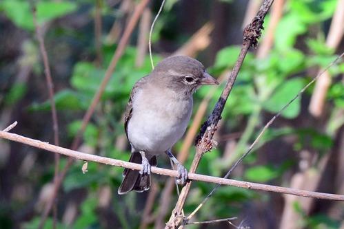 Yellow-spotted Bush Sparrow - Gymnoris pyrgita - Lake Manyara NP - D800 2017-11-13-211CE.jpg