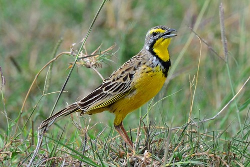Yellow-throated Longclaw - Macronyx croceus - Masai Mara NP Kenya - D800 2017-11-04-048CE.jpg