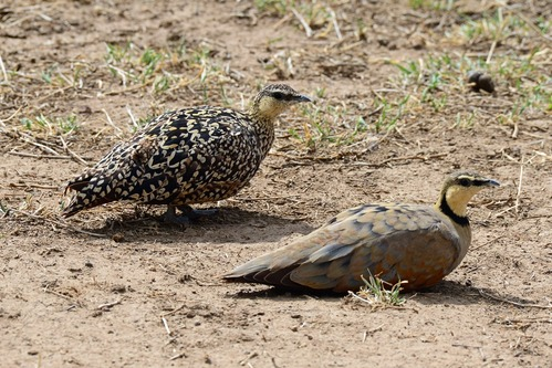 Yellow-throated Sandgrouse - Pterocles gutturalis - Ngorongoro NP - D800 2017-11-10-559CE.jpg