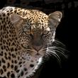 Leopard-Eyes.jpg
