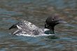 Common Loon (01).jpg