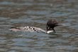 Common Loon (02).jpg