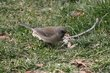 Dark-eyed Junco (female slate-colored variant).jpg