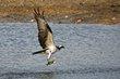 Osprey (03).jpg