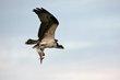 Osprey (04).jpg