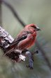 Red Crossbill (01).jpg