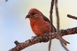 Red Crossbill (03).jpg
