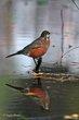 American Robin (04).jpg