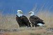Bald Eagle (01).jpg