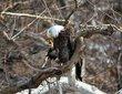 Bald Eagle (04).jpg