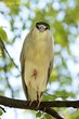 Black-crowned Night-Heron (03).jpg