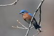 Eastern Bluebird (02).jpg