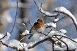 Eastern Bluebird (03).jpg