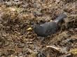 Eurasian Blackbird.jpg