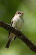 Acadian Flycatcher (01).jpg