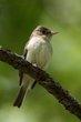 Acadian Flycatcher (02).jpg