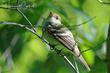 Acadian Flycatcher (04).jpg