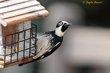 Acorn Woodpecker (02).jpg