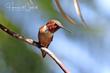 Allens Hummingbird (01).jpg