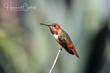 Allens Hummingbird (02).jpg