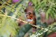 Allens Hummingbird (03).jpg