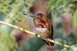 Allens Hummingbird (04).jpg