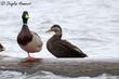 American Black Duck (01).jpg