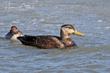 American Black Duck (03).jpg