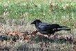 American Crow (01).jpg